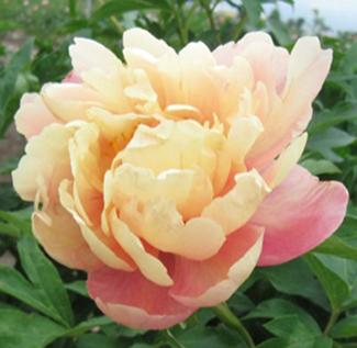 роза скарлет фото
