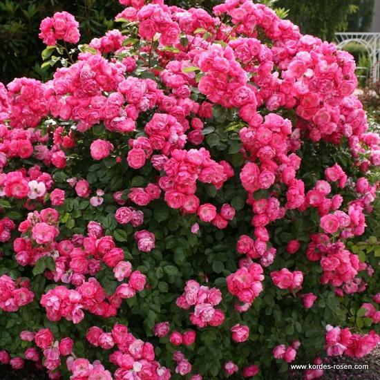 Сорт розы как пионы